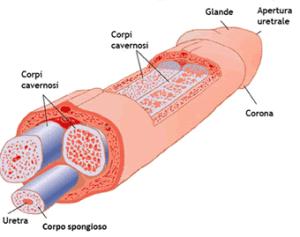 pene eiacula a metà erezione